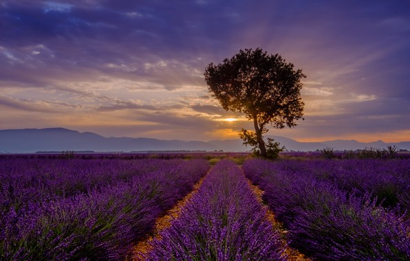 Picture summer, the sky, clouds, rays, sunset, flowers, mountains, fog, tree, the evening, lavender, plantation, lavender …