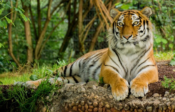 Picture tiger, animal, stay, Cat