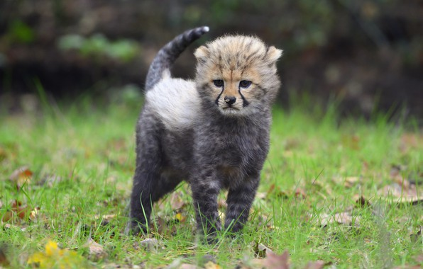 Picture autumn, grass, look, leaves, pose, kitty, background, glade, baby, muzzle, Cheetah, cub, ponytail