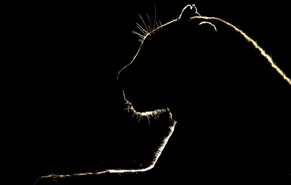 Picture cat, silhouette, outline