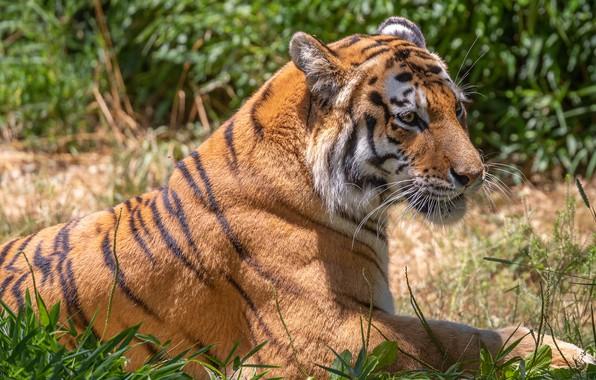 Picture grass, tiger, lies, profile