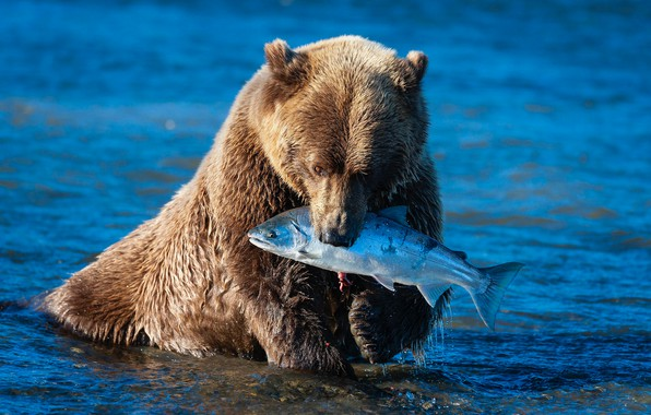 Picture look, face, pose, river, fishing, fish, paws, bear, bathing, bear, pond, blue background, lunch, brown, …