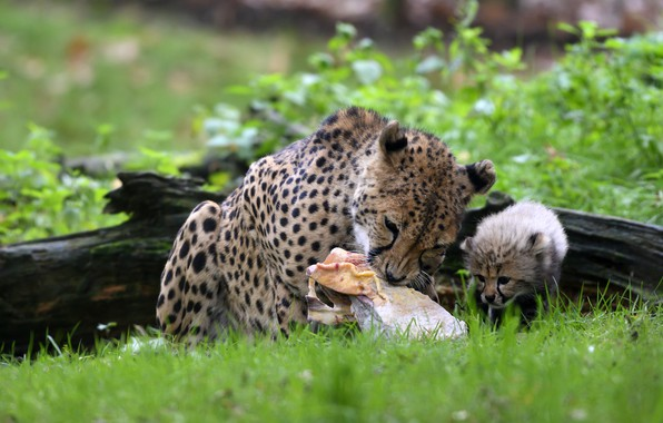 Picture greens, grass, look, face, leaves, pose, kitty, background, baby, muzzle, Cheetah, meat, lies, log, wild …