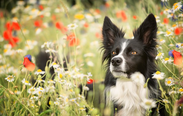 Picture look, face, flowers, Maki, chamomile, dog, meadow, bokeh, The border collie