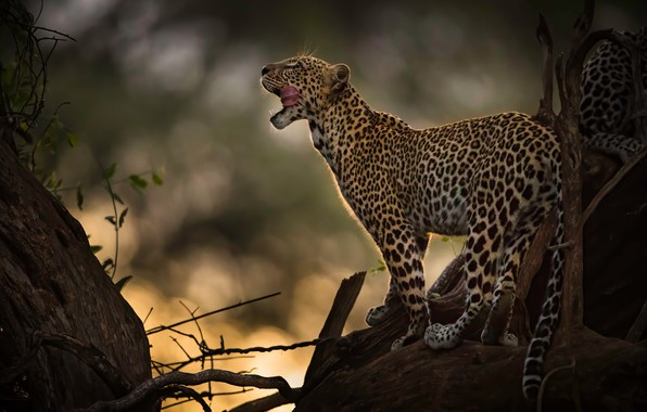 Picture language, leopard, wild cat, bokeh