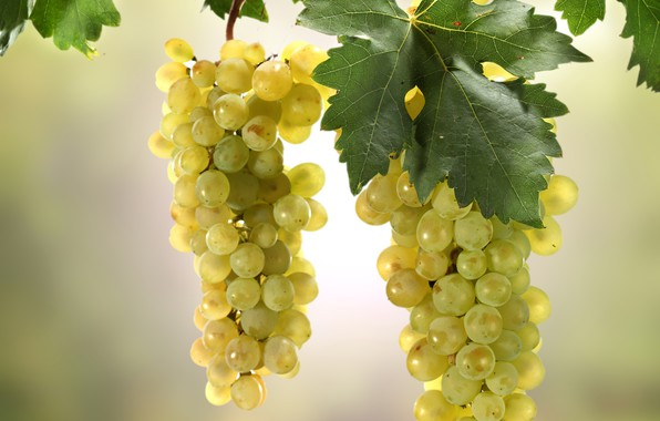 Picture leaves, the sun, background, branch, grapes, bunches, bokeh
