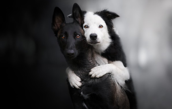 Picture look, background, a couple, friends, two dogs, The border collie, Malinois, Belgian shepherd