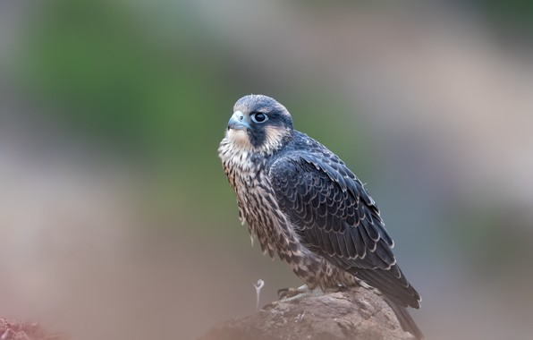 Picture bird, stone, predator, bokeh, peregrine