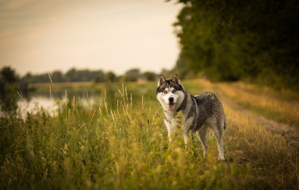 Picture road, field, language, summer, grass, look, face, nature, pose, shore, dog, pond, husky, Siberian husky