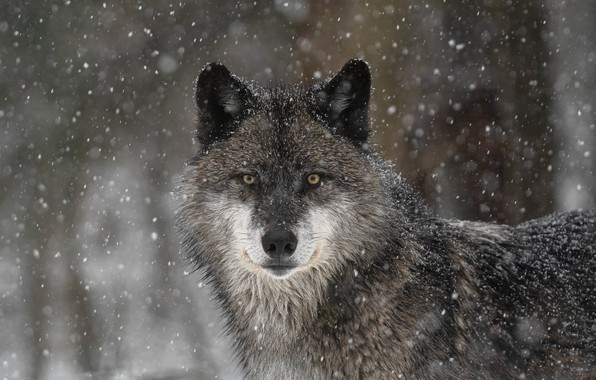 Picture look, face, snow, wolf, predator, the orderly forest
