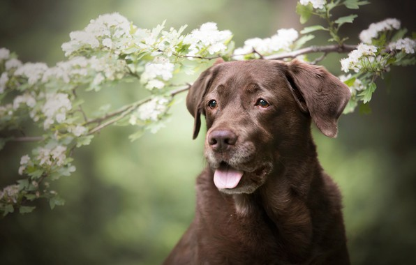 Picture language, look, face, flowers, branches, nature, portrait, dog, spring, white, flowering, green background, brown