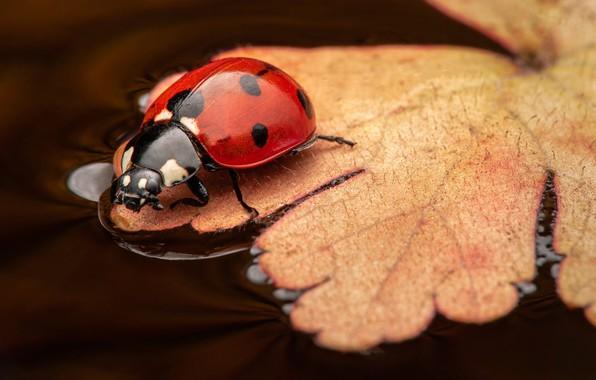 Picture macro, sheet, ladybug, beetle, insect