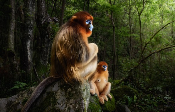 Picture forest, snow monkeys, Chinese snub-nosed monkey, Roxellana rhinopias