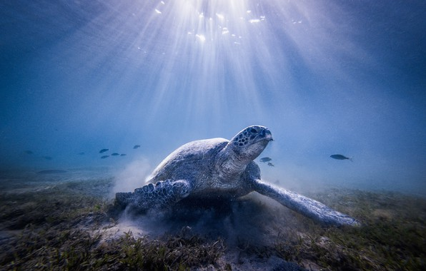 Picture sea, water, light, the ocean, turtle, under water