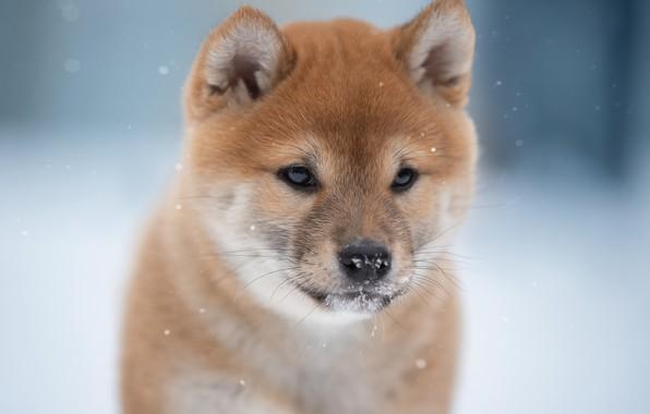 Picture face, background, dog, Shiba inu, Svetlana Pisareva