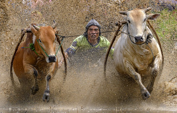 Picture race, sport, bulls, Traditional bull race