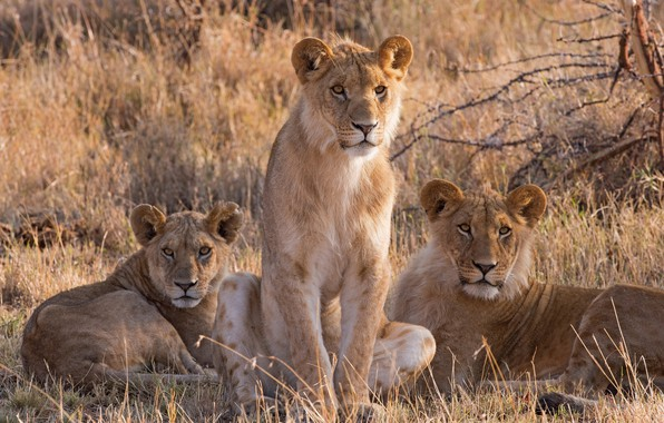 Picture grass, look, nature, Savannah, three, lions, the cubs, trio, sitting, lioness, Trinity