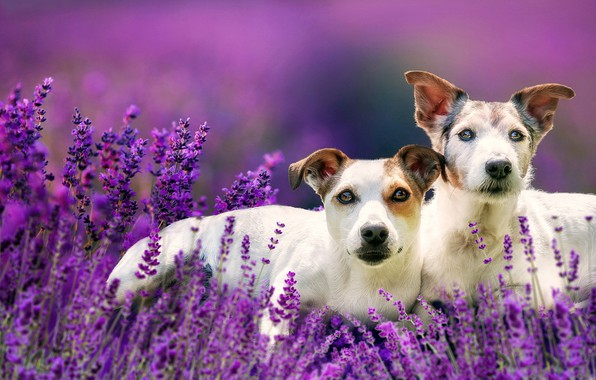 Picture flowers, a couple, lavender, bokeh, two dogs