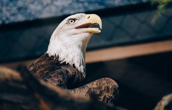 Picture look, eagle, beak