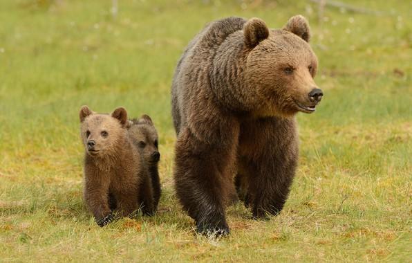 Picture greens, summer, grass, look, face, nature, pose, glade, bear, bears, pair, three, bear, walk, kids, …