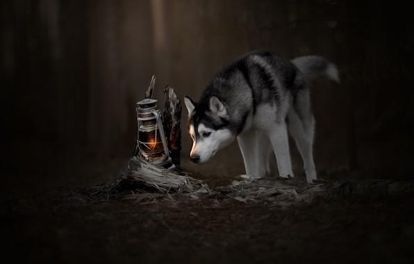 Picture lamp, husky, curiosity