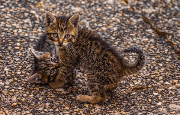 Picture striped, play, two kittens