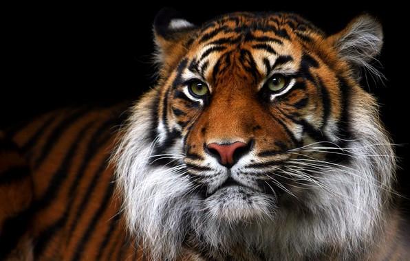 Picture look, face, tiger, portrait, black background