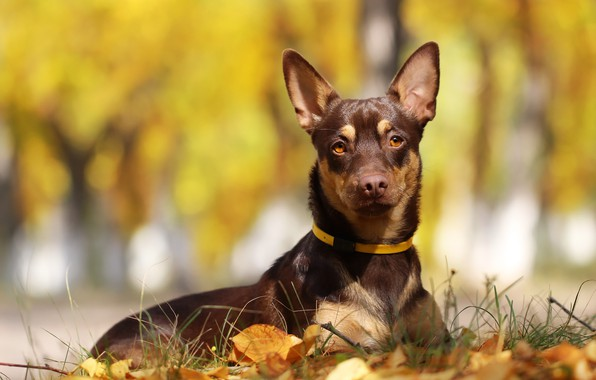 Picture autumn, leaves, background, each, dog