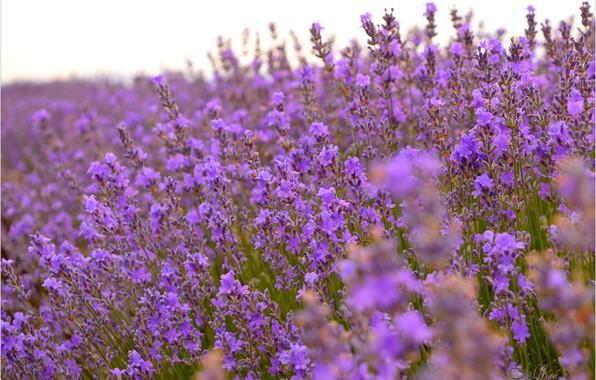 Picture Lavender, Lavender, Lavender field