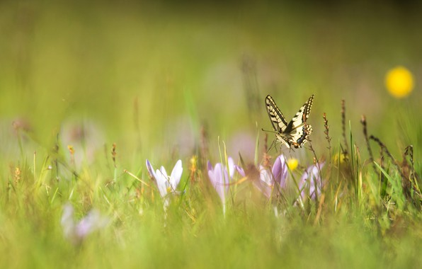 Picture macro, flowers, butterfly, spring, crocuses