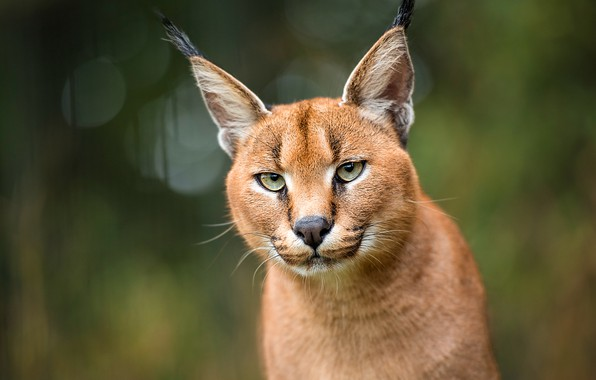 Picture face, background, portrait, lynx, Caracal