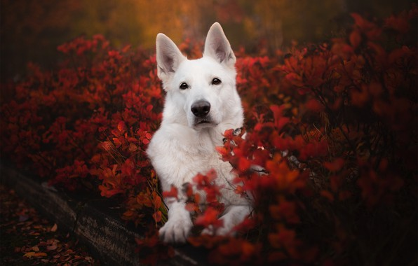 Picture autumn, look, face, dog, the bushes, The white Swiss shepherd dog