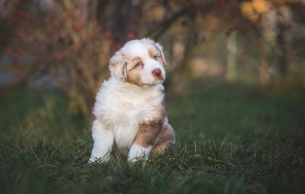 Picture grass, puppy, bokeh, doggie, Australian shepherd, Aussie