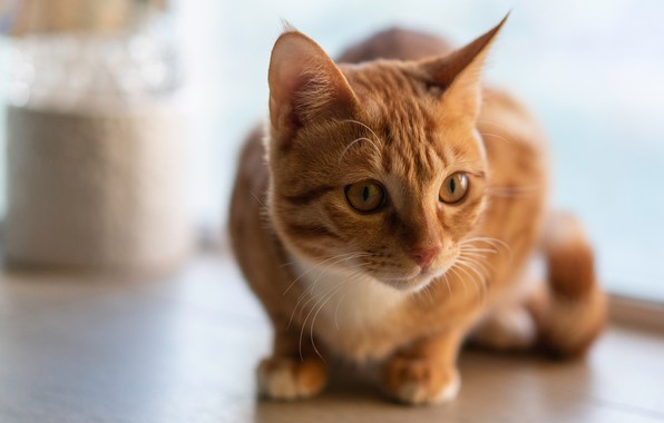 Picture cat, cat, look, face, pose, red, light background