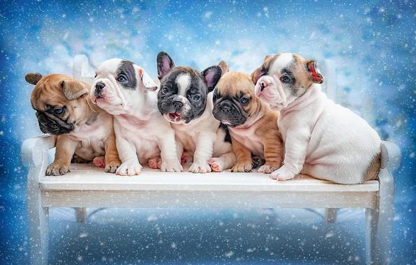 Picture dogs, background, puppies, kids, Ксения Лысенкова, Французский бульдок