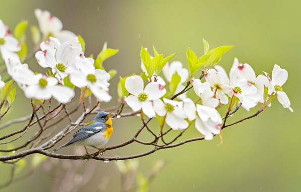 Picture branches, background, bird, flowering, flowers, dogwood, Ferruginous of parul