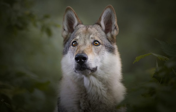 Picture look, face, leaves, branches, nature, pose, green, the dark background, grey, background, wolf, portrait, dog, ...