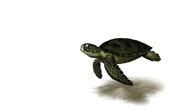 Picture rendering, turtle, art, Leslie Casilli, Sea Turtle