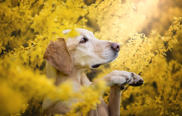 Picture summer, look, face, flowers, branches, pose, Bush, portrait, dog, spring, paws, yellow, garden, profile, Labrador, …