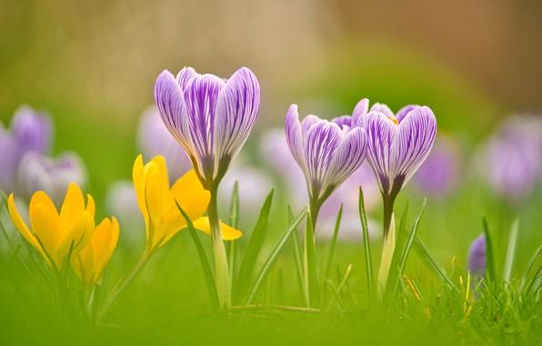 Picture macro, spring, petals, bokeh, Crocuses, Saffron
