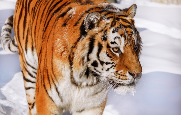 Picture face, snow, tiger, wild cat, handsome, Oleg Bogdanov