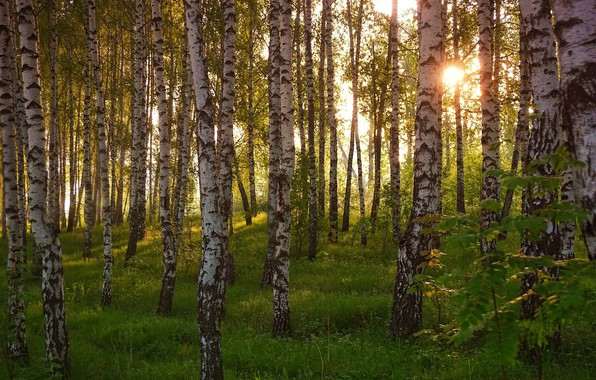 Picture forest, trees, birch
