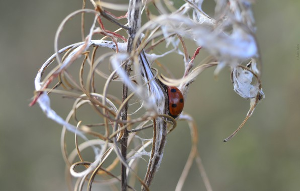 Picture Nature, Grass, Curls, Summer, Ladybug, A blade of grass, Alex Atin, Alex Athyn, Freeze, Scrambling, …