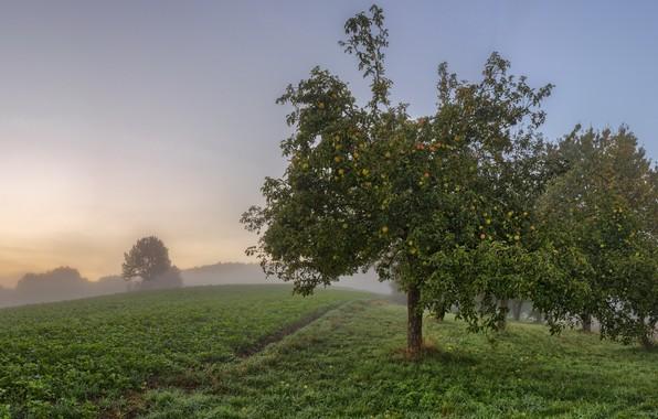 Picture fog, apples, garden, Apple
