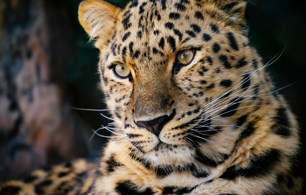 Picture face, portrait, predator, leopard, wild cat