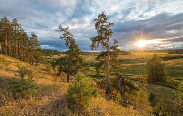 Picture trees, pine, meadows, Alex Sannikov