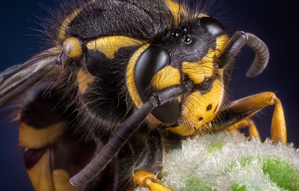 Picture eyes, macro, bee, head, insect, antennae