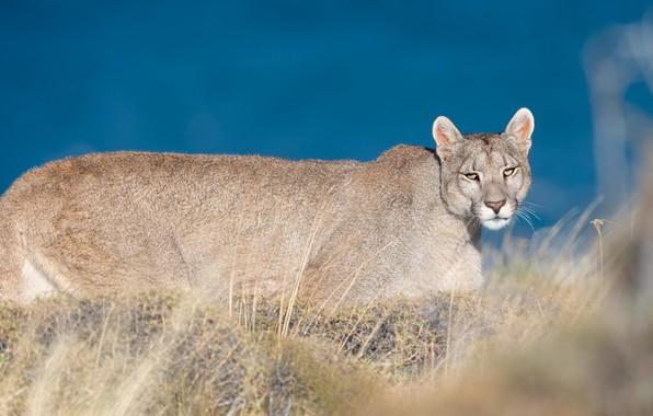 Picture grass, walk, Puma, blue sky, Cougar