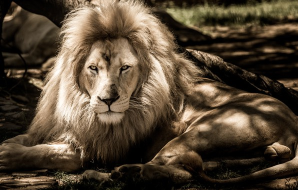 Picture look, Leo, paws, tail, lies, tail, paws, lies, sight, a lion