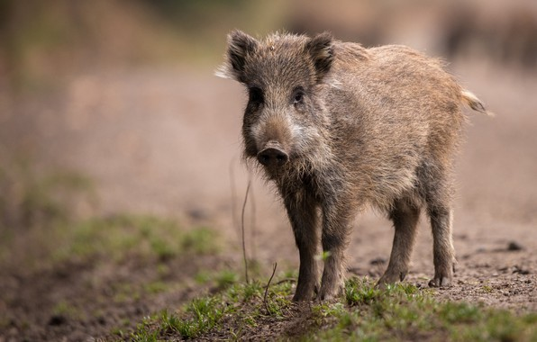 Photo Wallpaper Look Face Nature Background Baby Pig Boar